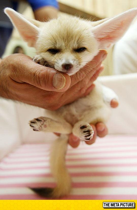 Tiny Baby Fennec Fox