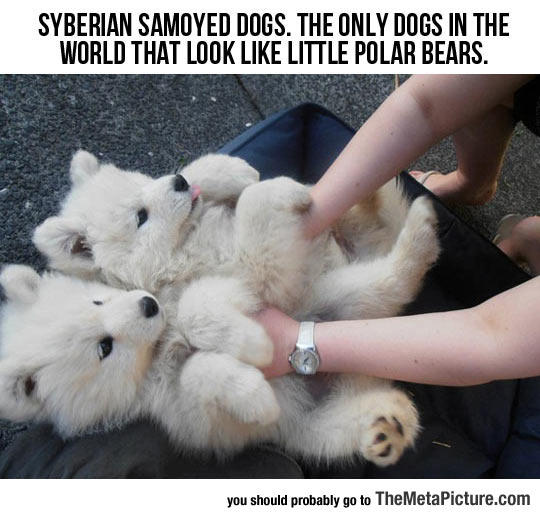 cool-cute-puppies-Samoyed
