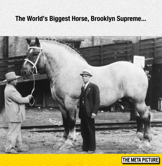 cool-largest-biggest-horse-world
