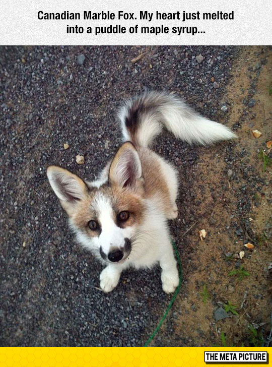 cool-marble-fox-Canadian