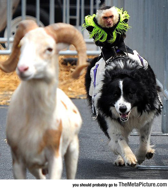 cool-monkey-riding-dog-race