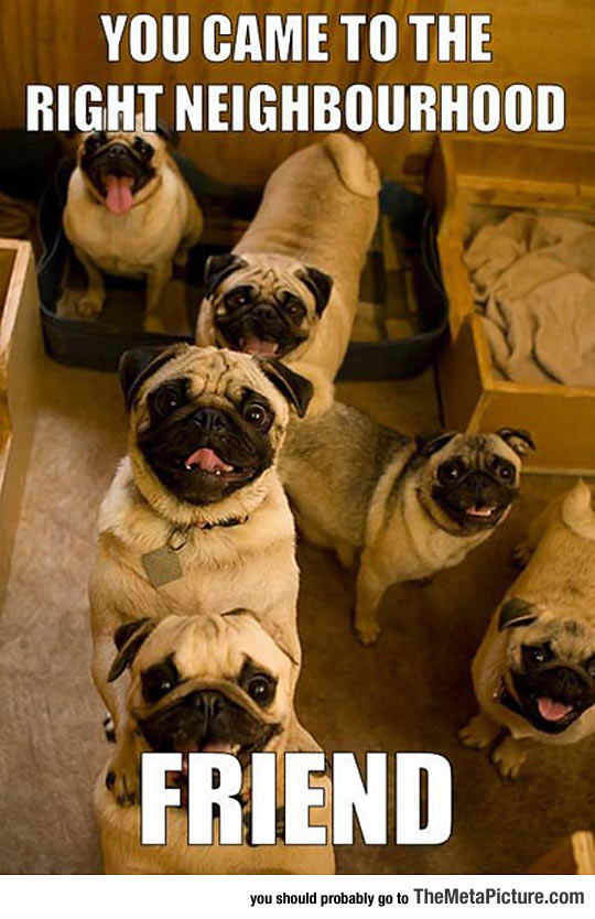 cool-pugs-dogs-smile