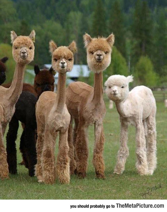 Just A Bunch Of Shaved Alpacas