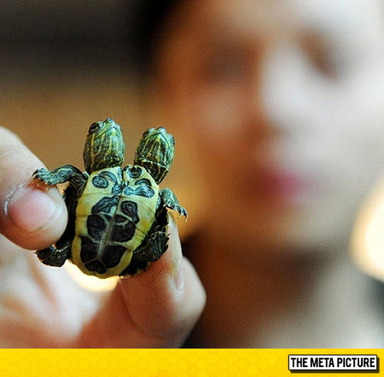 cool-two-headed-turtle-mutant-siamese