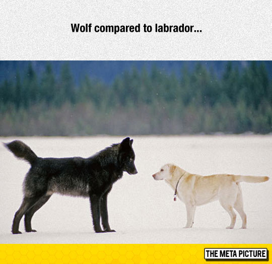 cool-wolf-dog-size-comparison