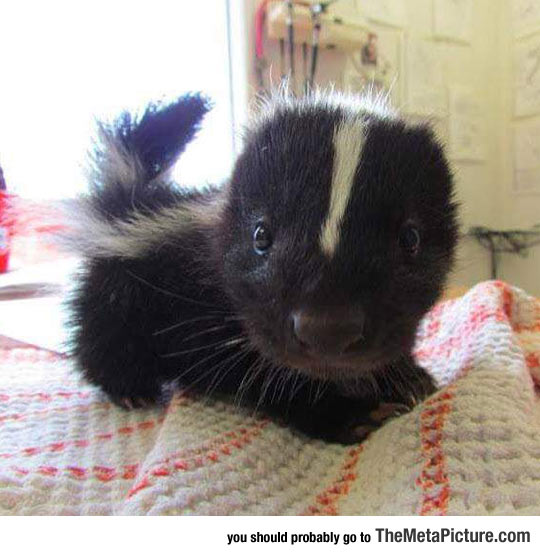 cute-baby-skunk-tiny