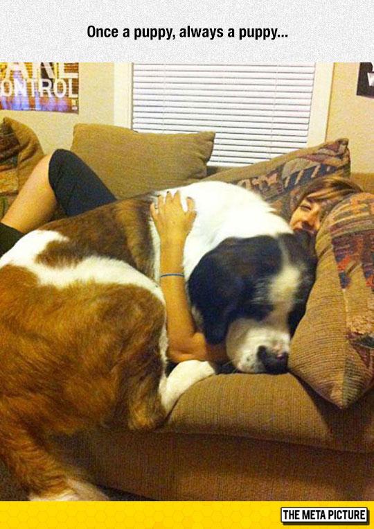 cute-big-puppy-sleeping-couch
