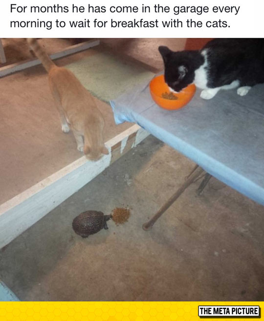 funny-cats-turtle-eating-together
