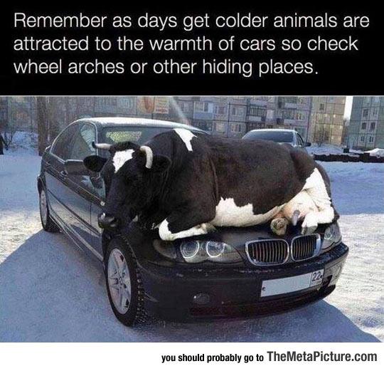 funny-cow-sleeping-on-car