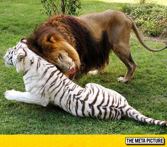 funny-cute-lion-tiger-in-love-couple