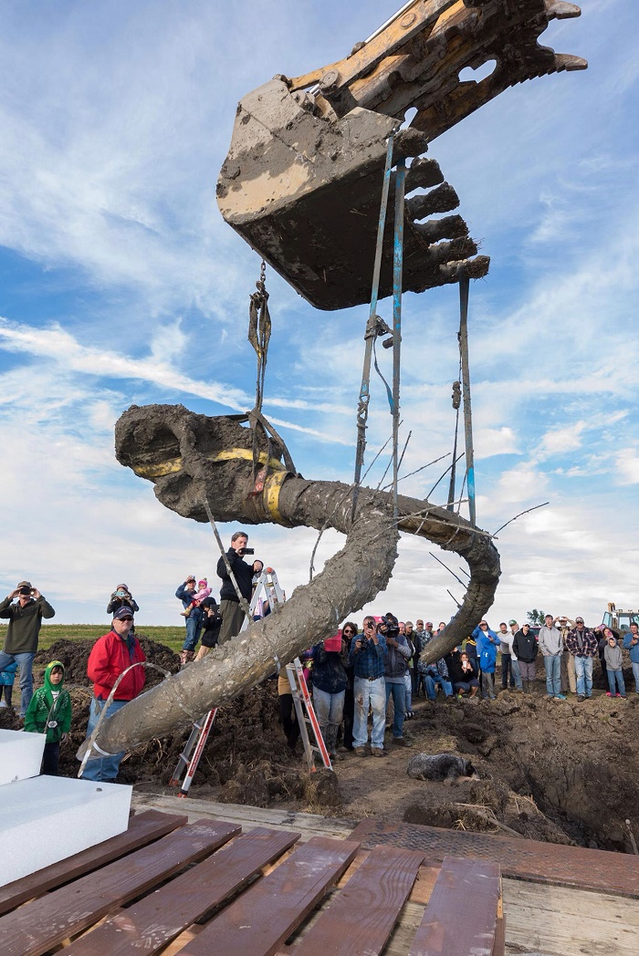 A giant Mammoth skeleton recently unearthed in Michigan