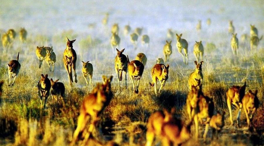Kangaroos fleeing