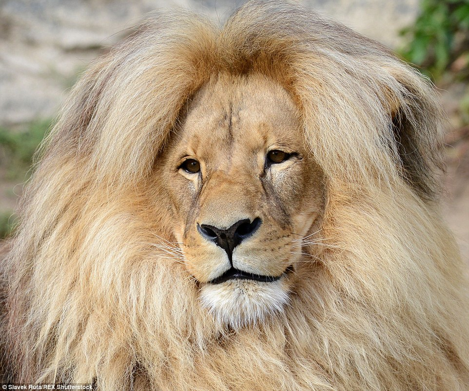 Leon the lion's luxurious hairstyle