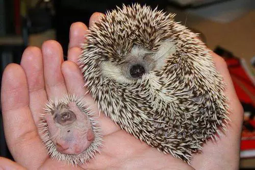 Mummy hedgehog with her mini-me baby.