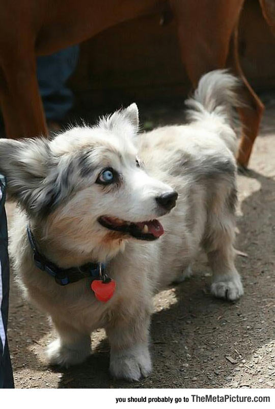 Two Breeds Of Dog In One: The Corgi-Husky