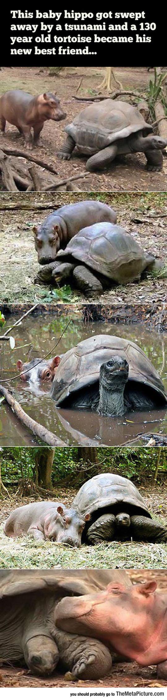 cool-baby-hippo-tortoise