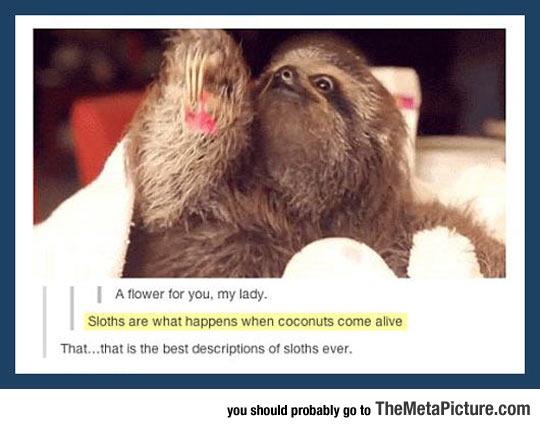 cool-baby-sloth-coconuts-description
