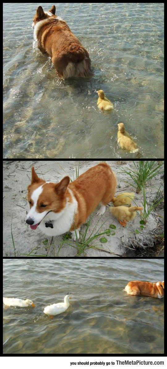 Flock Of Ducklings Lose Their Mother, Corgi Adopts Them