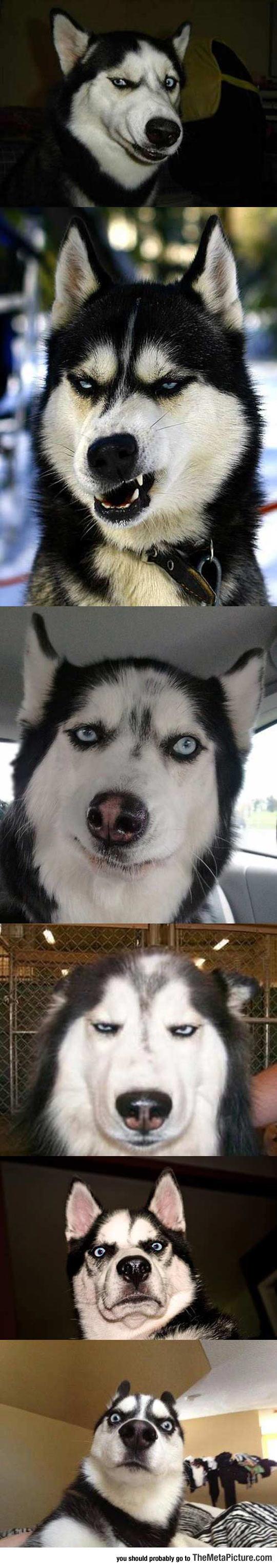 cool-husky-weird-face