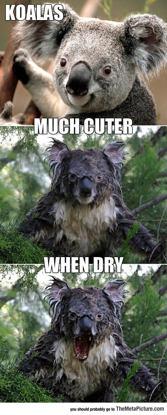 cool-koalas-cute-wet-dry-angry