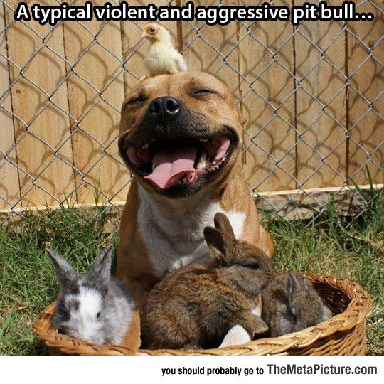 cool-pitbull-bunny-chick