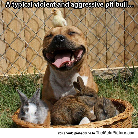Typical Pit Bull
