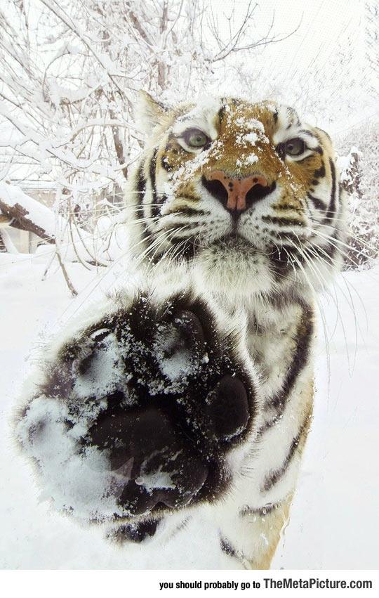 cool-tiger-snow-paw