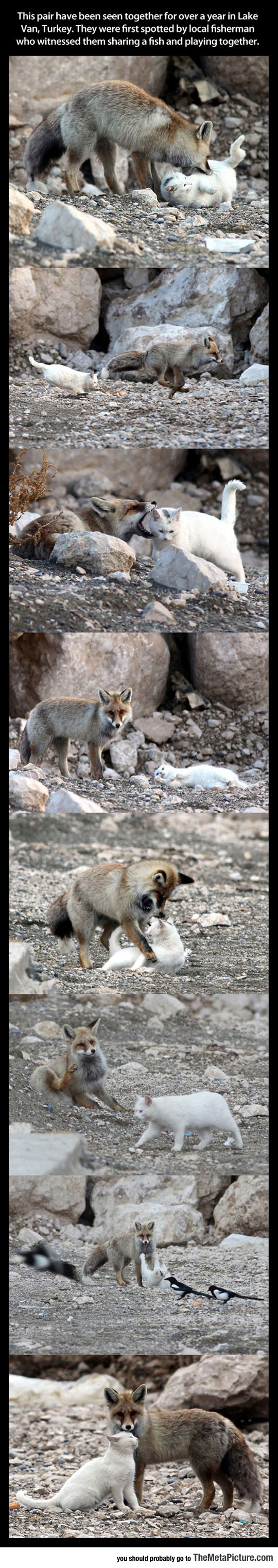 Wild Cat And Fox Become Best Friends