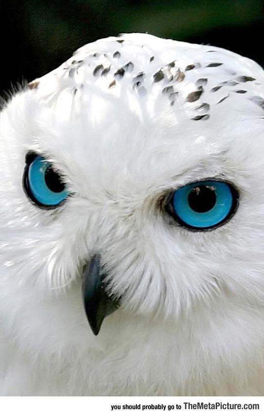 snow-owl-blue-eyes-beauty