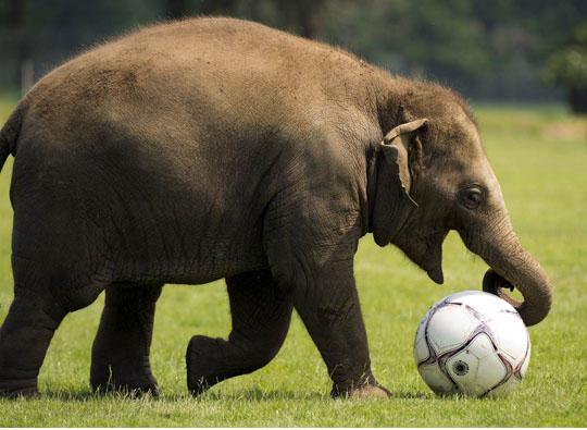 Baby elephant loves his ball
