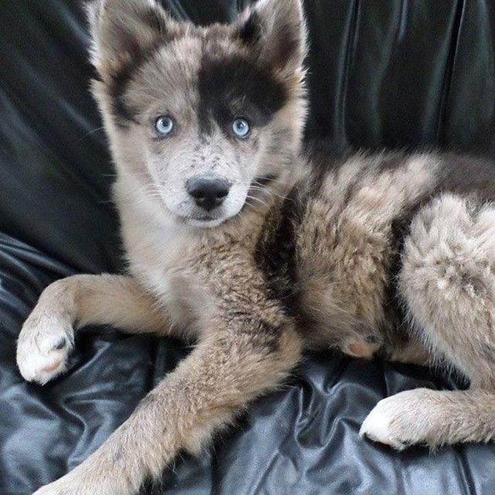 Beautiful blue eyed Australian Shepherd and Husky mix