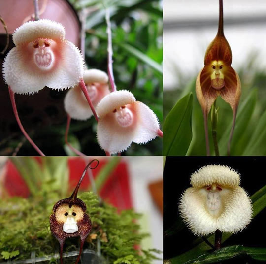 Just In Case You've Never Seen Monkey Orchids Before