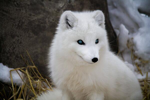 White fox with blue eyes