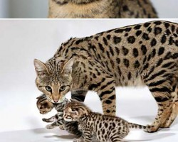 Ever Seen A Savannah Cat?