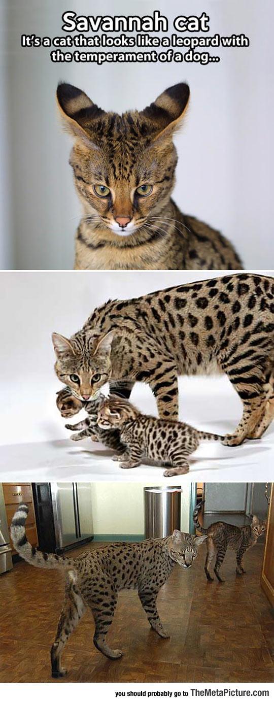 Ever Seen A Savannah Cat?