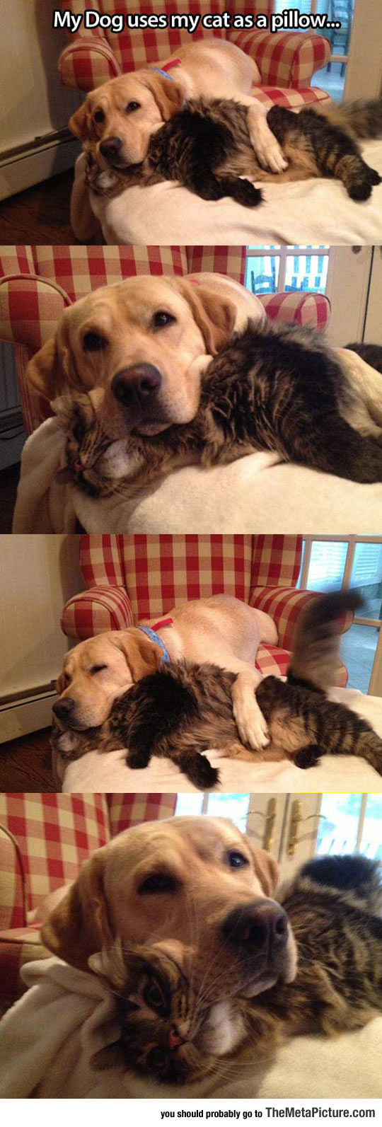 Pillow Cat Is Comfy