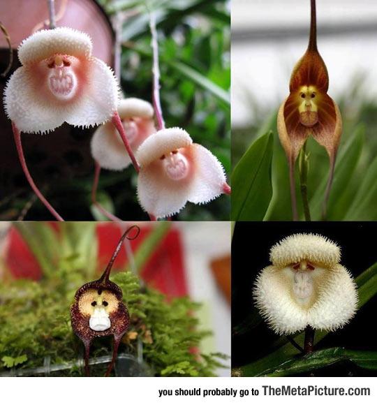 cool-face-monkey-flower-petals