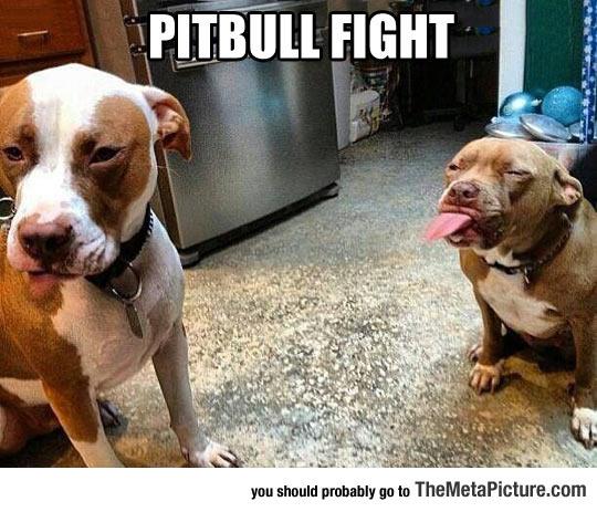 cool-pitbull-friendly-fight-tongue