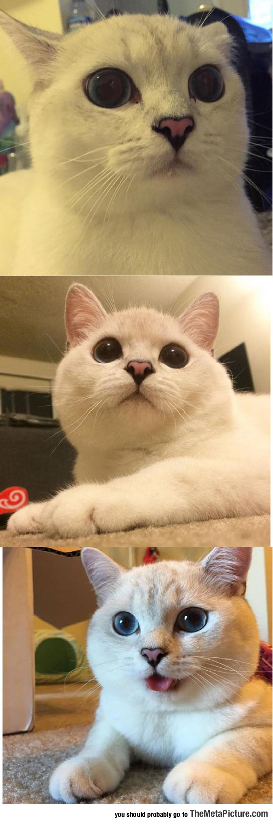 This Is The Cat Version Of Doge