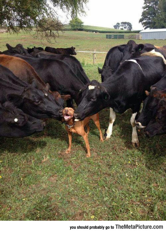 cute-dog-friend-cows