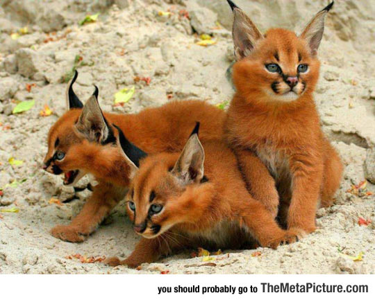 Caracal Kittens Deserve More Attention