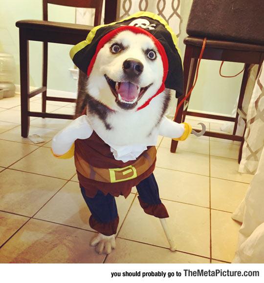 cute-husky-dog-pirate-Halloween-costume