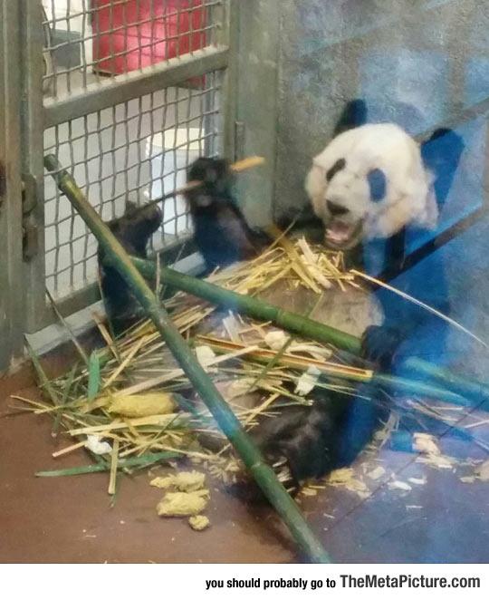 cute-panda-eating-zoo