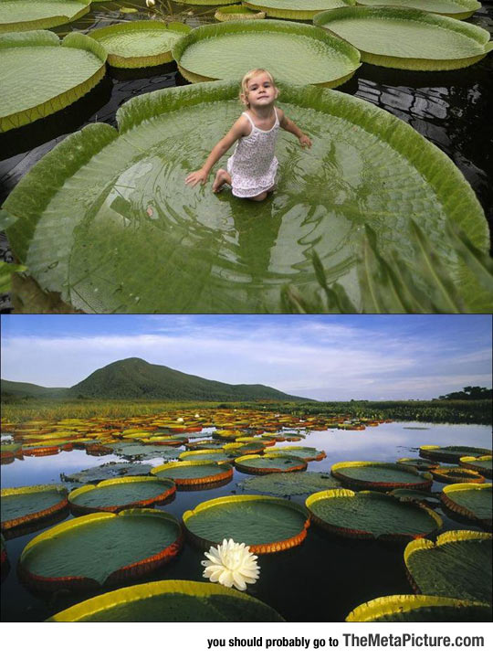 Victoria Amazonica, The Giant Plant That Can Support Up To 40 Kg