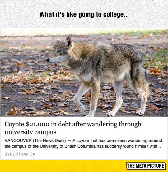 funny-coyote-walking-college-campus