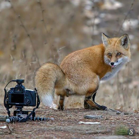 funny-fox-taking-photo