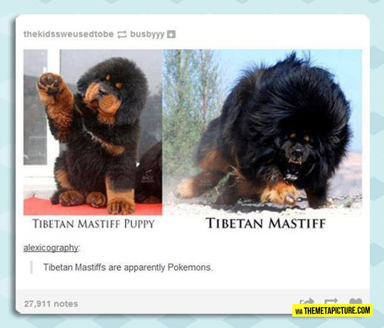 Tibetan Mastiff Before And After