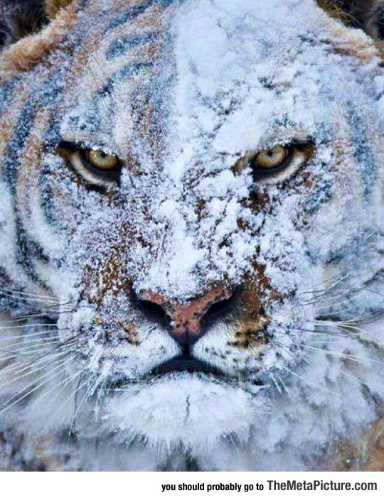 cool-Tiger-face-snow