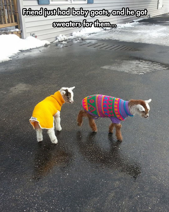 Tiny Baby Goats In Sweaters