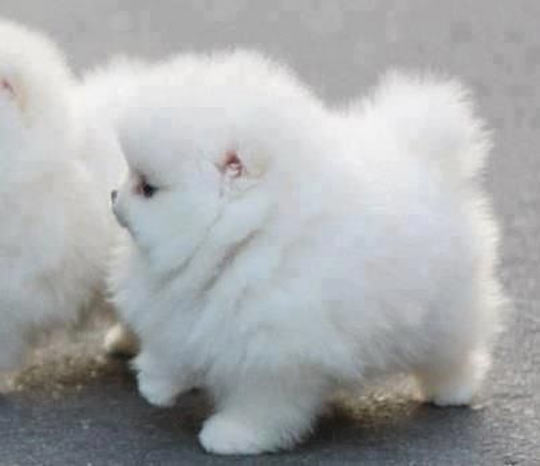cool-funny-puppy-fluffy-white-cloud